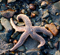 Sea star on tidal grounds